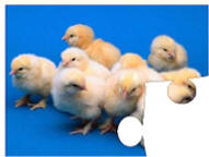 chick jigsaw puzzles